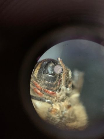 Dead bee with evidence of mite tracings.  Photo courtesy of Alyssa Perez.